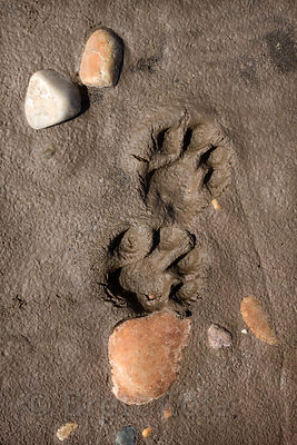 Unidentified cat tracks on the sandy banks of the Tambopata River, Peruvian Amazon
