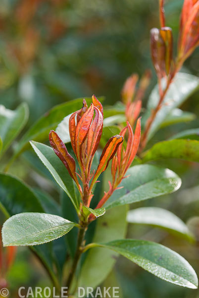 Photinia lasiogyna. Marwood Hill Gardens, Barnstaple, Devon, UK