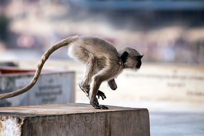 A baby langur monkey missing one of its hands plays at a temple on Pushkar lake, Pushkar, Rajasthan, India