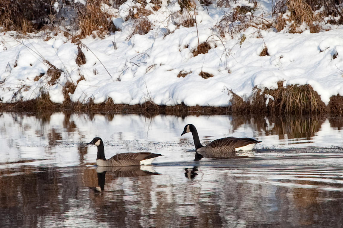Winter scene of geese on a small lake in Green Farm Park, Gaithersburg, Maryland