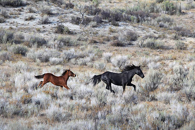 Mustangs on the Mares Canyon near the town of Meeker, Colorado.