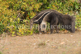 giant_anteater_walking-40