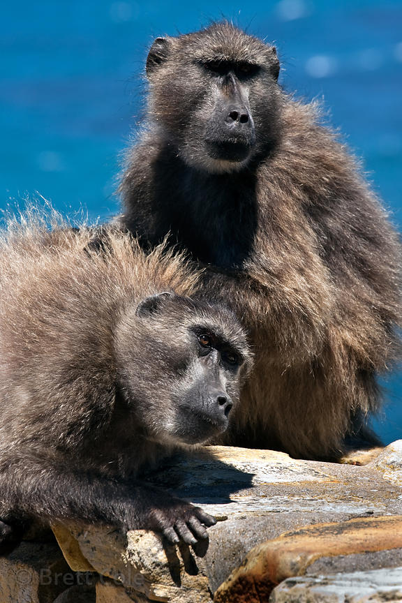 Two baboons from the Cape Point troop groom each other atop a rock bench on the trail at Cape Point, ocean in the background,...