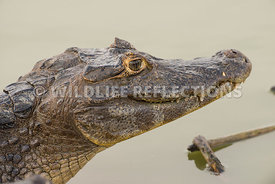 caiman_pond_edge_close-6