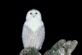 January - Snowy Owl