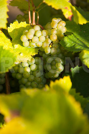 photo: vignoble nantais