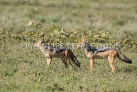 black_backed_jackal_tanzania_04022017-8
