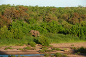 African elephant on the bank of the Shingwedzi River ( Loxodonta africana africana), Kruger National Park, South Africa