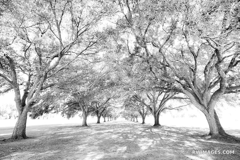 OAK ALLEY OF THE HOLLY CROSS MANRESA HOUSE OF RETREATS LOUISIANA BLACK AND WHITE