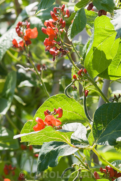 Runner beans displaying their scarlet flowers. Clovelly Court, Bideford, Devon, UK