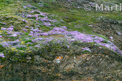 Moss Campion (Silene acaulis) on a cliff-top near July 14 Glacier, Svalbard