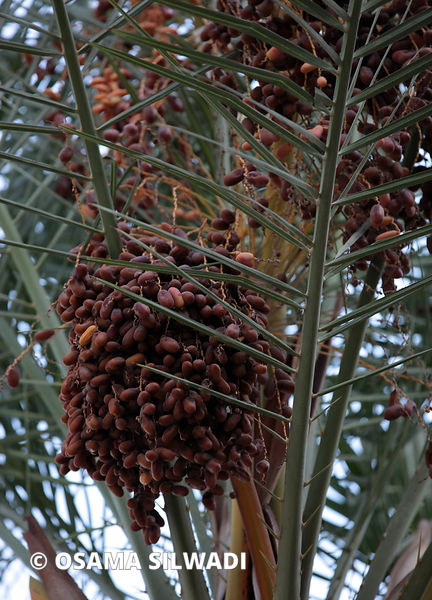 Palestinian farmers harvest dates in West Bank City of Jericho