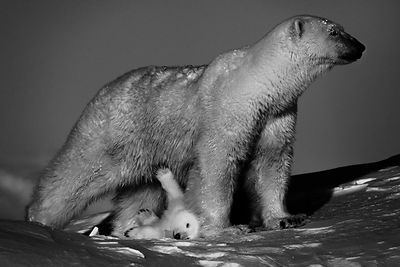 5349-Polar_bear_with_cubs_Baffin_Island_Canada_2016_Laurent_Baheux
