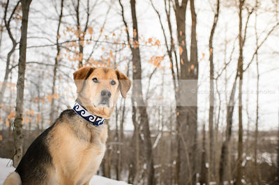 portrait of shepherd mixed breed dog sitting in winter setting