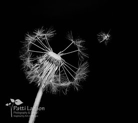 Last of the Dandelion