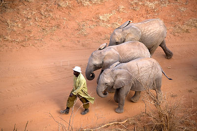 A keeper taking three orphan Elephants (Loxodonta africana) for a walk. David Sheldrick Wildlife Trust Nairobi Elephant Nurse...