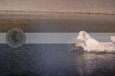 wet golden doodle dog splashing in lake water