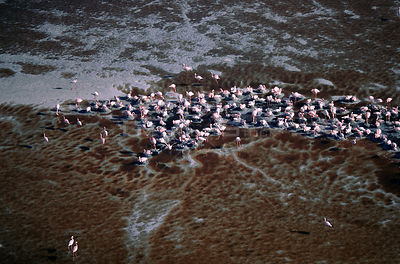 Aerial view of Lesser Flamingos {Phoeniconaias minor} Lake Natron, Tanzania.
