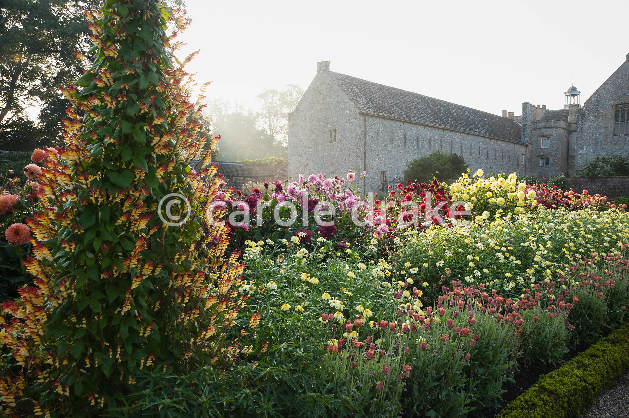 Obellisk covered with colourful climber Ipomoea lobata in the kitchen garden surrounded by dahlias and argyranthemums. Forde ...