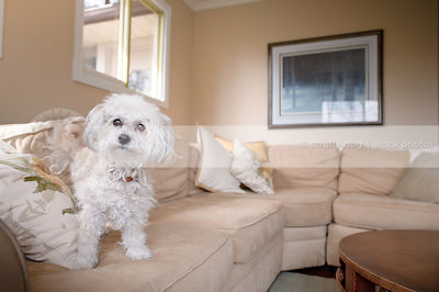 sweet little bichon frise cross dog wagging on couch indoors