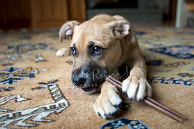 Brown and Tan Puppy Lying on Carpet Chewing on Bully Stick