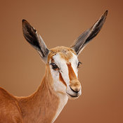 Springbok portrait (young)