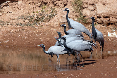 Demoiselle Cranes (Anthropoides virgo) in the rural village of Keechan, Rajasthan, India