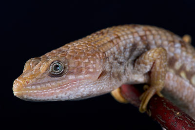 Texas alligator lizard (Gerrhonotus infernalis)