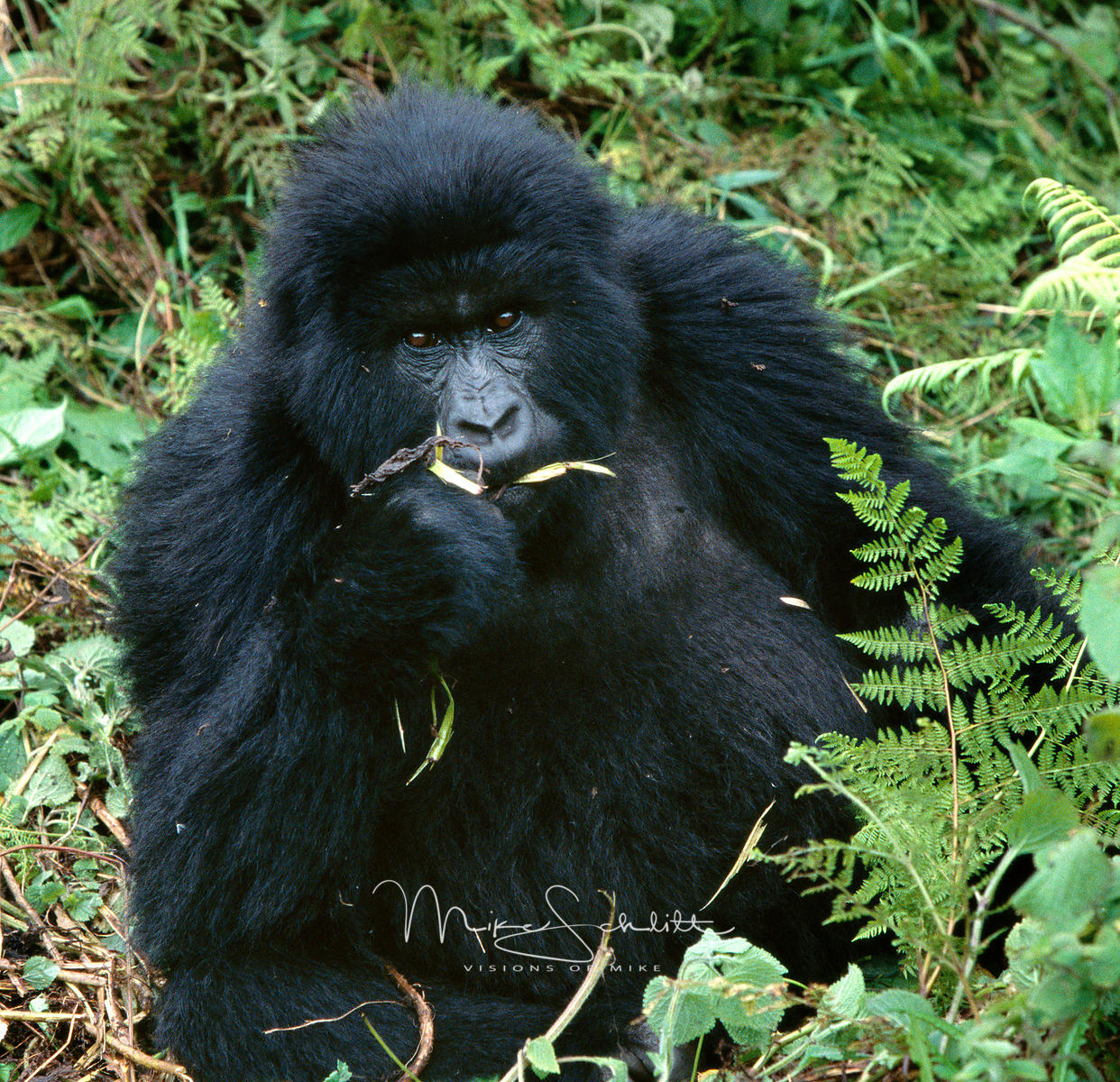 B_gorilla_CROPPED_crop