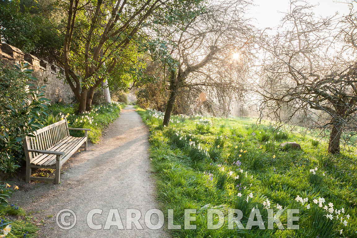 Path along top of meadow of naturalized daffodils. Cotehele, Cornwall, UK