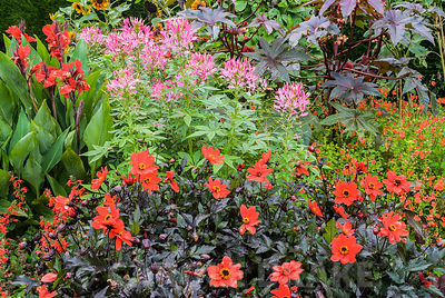Red bed in the Rainbow Garden includes Dahlia 'Bishop of Llandaff', pink cleomes, red cannas and salvias, castor oil plants a...