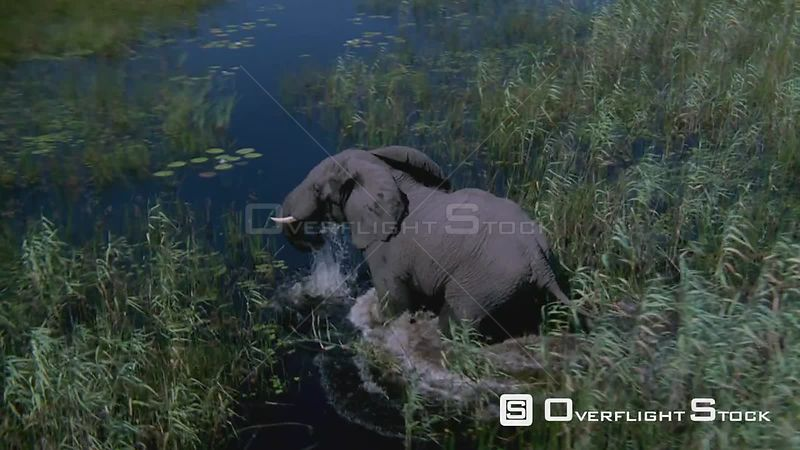 Aerial wide angle shot side view elephant walking through tall grass and water, zoom in Zimbabwe