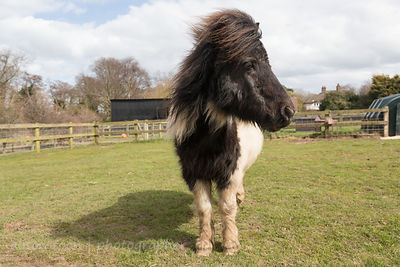 Shetland pony, Hillside Animal Sanctuary