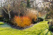 Cornus sanguinea 'Midwinter Fire' with clipped box balls, white stemmed birch and miscanthus. Sir Harold Hillier Gardens, Amp...