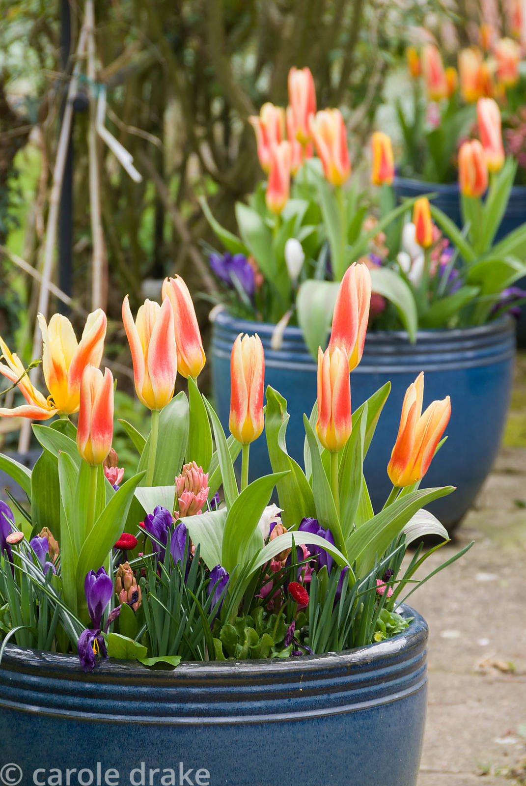 Containers of spring bulbs, tulips and hyacinths. Beechenwood Farm, Odiham, Hants, UK