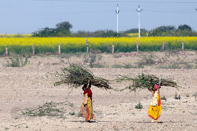 Women carrying sticks in the desert, with mustard fields in the distance, Keechan, Rajasthan, India