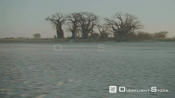 Aerial long wide angle shot group of baobab trees on edge of salt pan in desert at sunset sunrise Botswana