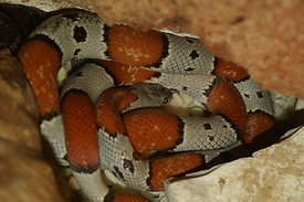Lampropeltis mexicana - Mexican Kingsnake