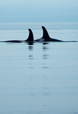 Orcas-Vancouver-Island-9279