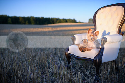 two cute small dogs together on chair at sunset in wheatfield