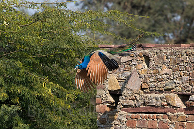 Peacock (Pavo cristatus) in flight, Kharekhari village, Rajasthan, India