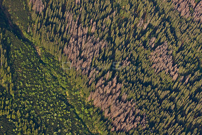 Aerial view of border between spruce forest and Dwarf mountain pine (Pinus mugo) zones showing several trees killed by Bark b...