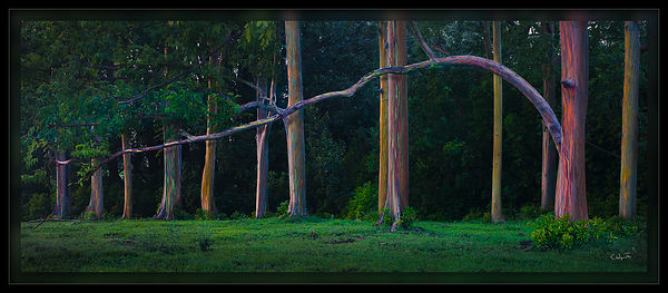 Painted Trees of Maui