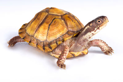 Gulf Coast box turtle (Terrapene carolina major)
