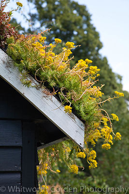 "Sedum acre - Biting stonecrop planted on a green roof in ""The Home Front"" garden designed by Tony Wagstaff at the RHS Hampton..."