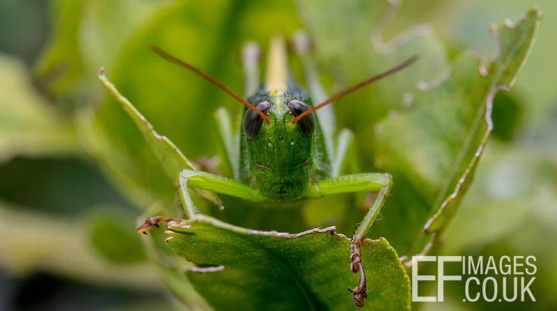 Big Green Grasshopper, Front View, Close Up