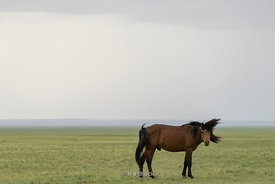 A horse in a field in Mongolia.