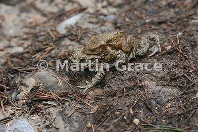 Common (European) Toads (Bufo bufo) in amplexus heading towards water to breed, Badenoch & Strathspey, Scottish Highlands: im...