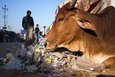 Handsome cow bedding down on some rubbish, Pushkar, Rajasthan, India
