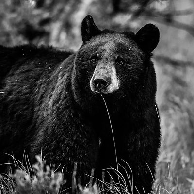 5828-Ours_bruns_du_Yellowstone_Wyoming_2014_Laurent_Baheux